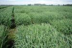 CGNA-es-parte-de-investigación-para-mejorar-calidad-nutricional-de-la-avena-2