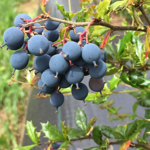 Berries nativos