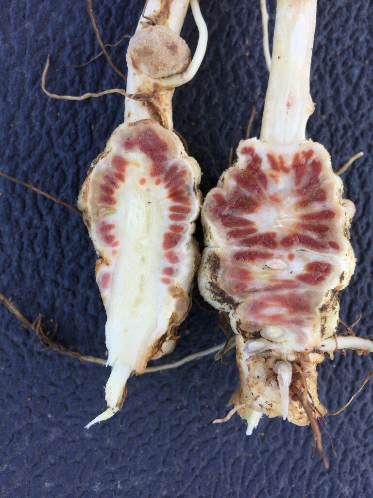 Corte transversal de la raíz de lupino